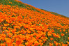 California Wildflowers : It's Spring fever.  That is what the name of it is.  And when you've got it, you want —oh, you don't quite know what it is you do want,  but it just fairly makes your heart ache, you want it so! ~ Mark Twain