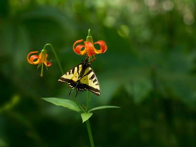 Western Tiger Swallowtail on a Tiger Lily wildflower