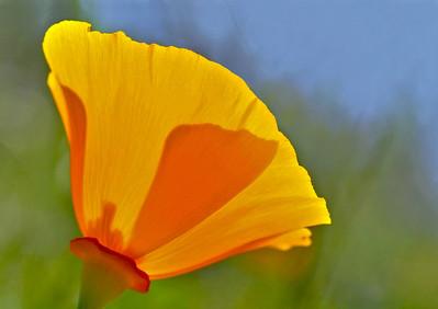 Cup of Sunshine ~   California Poppy