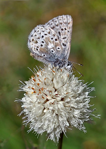 On Top of the World ~  An Arrowhead Blue Butterfly (Glaucopsyche piasus) atop a Globe Gilia Wildflower (Gilia capitata)