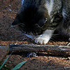 Cat and mouse game - notice mouse head on one side of log with whiskers and behind on the other- At my sister's place Forest Hill Ca