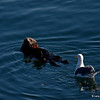 Sea Otter - Monterey bay