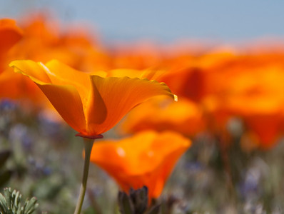 Poppy, Antelope Valley, California