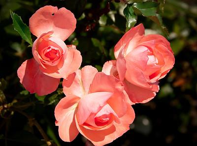 Rose, Balboa Park, San Diego, California