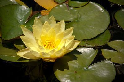 Lotus, Balboa Park, San Diego, California