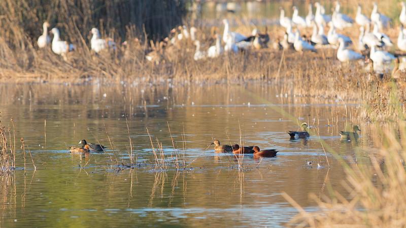 Gray Lodge Ducks