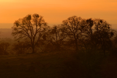 © Joseph Dougherty. All rights reserved.   Silouette of oak trees at sunset.