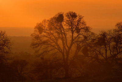 © Joseph Dougherty. All rights reserved.   Silouette of an oak tree with mistletoe at sunset.