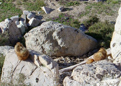19-Mt Whitney-Marmots on Rocks