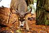 Yosemite Mule Deer<br /> Yosemite NP, CA