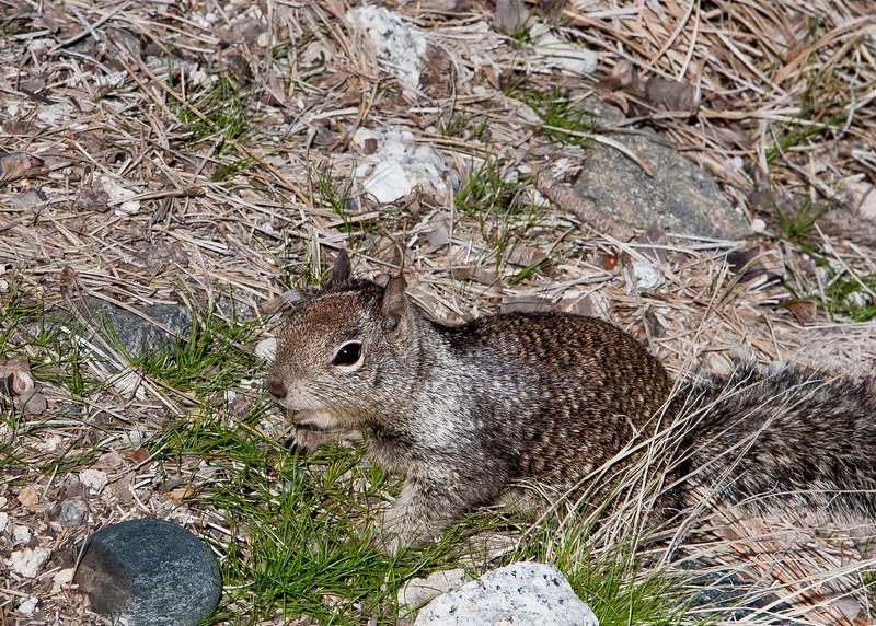 California Ground Squirrel<br /> Yosemite NP, CA