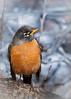 American Robin<br /> Yosemite NP, CA