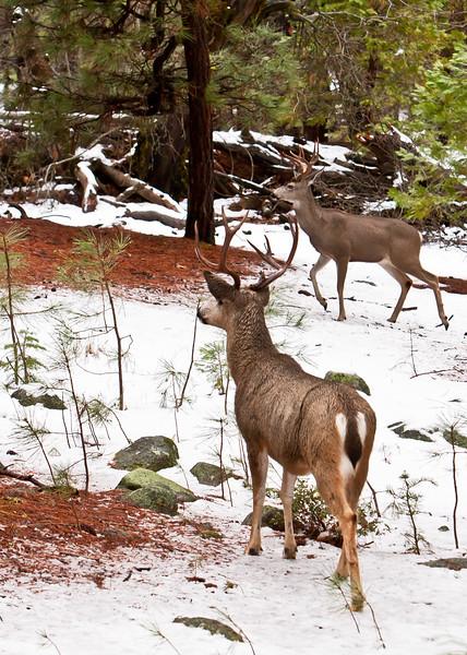 Yosemite Mule Deer Bucks<br /> Yosemite NP, CA
