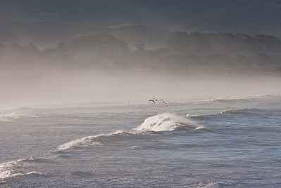 Pelicans, flying out of the morning mist. Half Moon Bay, Ca.