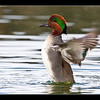 Green-winged Teal at Redwood Shores, CA