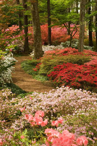 There are over 200,000 azaleas at Callaway Gardens