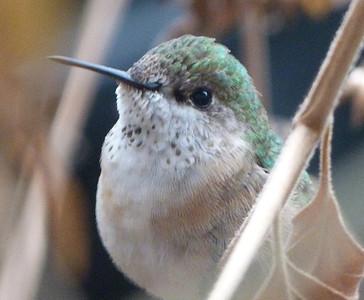 Calliope Hummingbird 12/12/2013 to