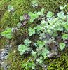 Wild Stonecrop