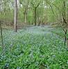 Bluebell stream