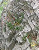 Columbine and Ragwort wall