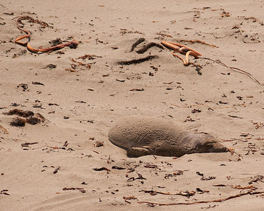 Baby elephant seal at vista point