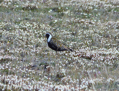 American Golden Plover male