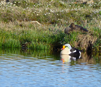 King Eider male and female