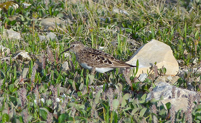 Baird's Sandpiper in breeding plumage