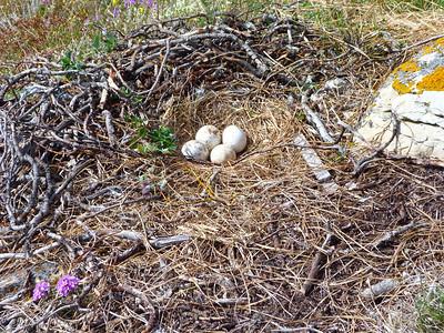 Rough-legged Hawk nest