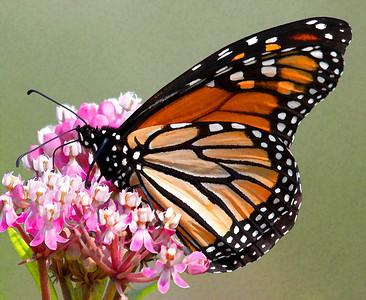 Monarch  08 06 10  043 - Edit
