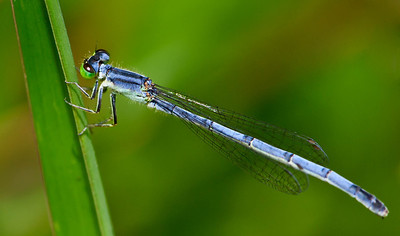 Eastern Forktail female  07 15 09  002 - Edit-2