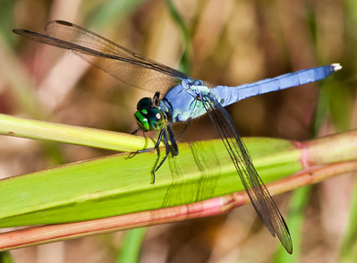 Common Pondhawk  08 25 10  006 - Edit - Edit