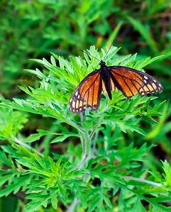 Viceroy Butterfly  08 07 11  001 - Edit-2 - Edit