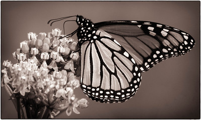 Monarch  08 06 10  018 - Edit-2