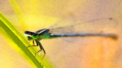 Eastern Forktail female  08 12 09  029 - Edit