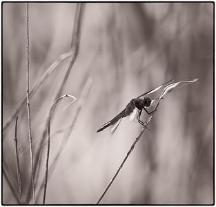 Widow Skimmer  07 27 09  006 - Edit - Edit