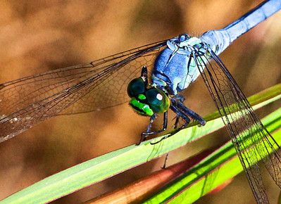 Common Pondhawk  08 25 10  042 - Edit-4