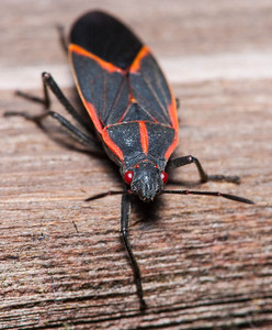 Box Elder Bug  10 08 09  012