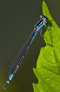 Azure Bluet Damselfly
