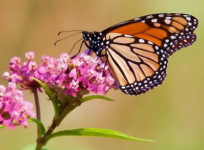 Monarch  08 06 10  002 - Edit