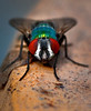 Greenbottle Fly Lucilia  10 04 09  011 - Edit CS4 - Edit-3 - Edit