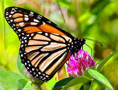 Monarch  08 23 09  062 - Edit