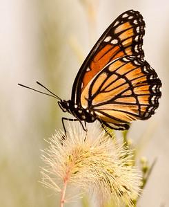 Viceroy Butterfly  08 06 09  036 - Edit-3