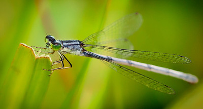 Eastern Forktail female  07 29 09  007-2 - Edit-2