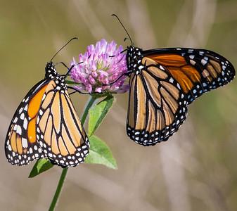 Monarch  09 16 09  013