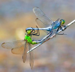 Common Pondhawk mating  07 27 09  002 - Edit-2