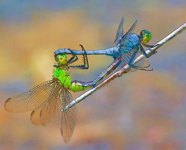 Common Pondhawk mating  07 27 09  010 - Edit-2