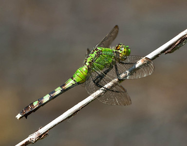 Common Pondhawk female  07 27 09  025 - Edit