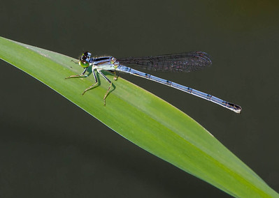 Eastern Forktail female  08 03 09  022