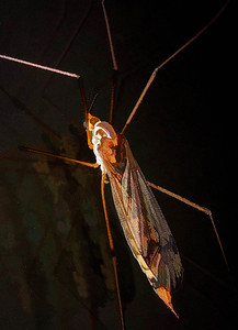 Tiger Crane Fly female  06 17 09  001 - Edit